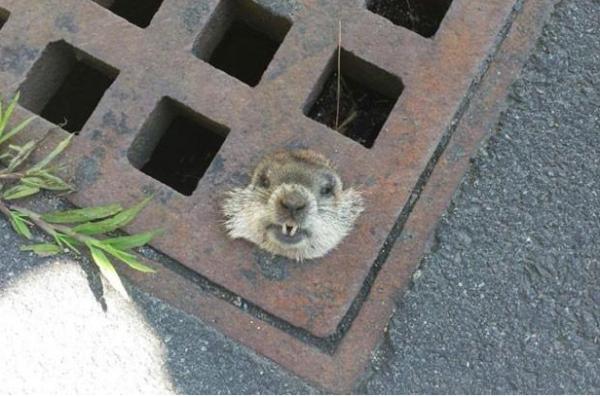 marmota presa num bueiro. Total random.